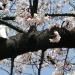Pigeons on cherry tree branch